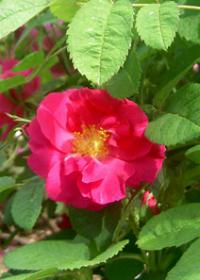 Rosa 'Duchess of Portland'