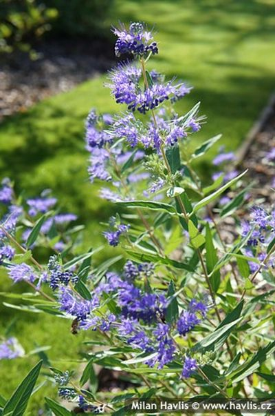 Caryopteris x clandonensis 'Heavenly Blue' - ořechoplodec