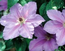 Clematis Ramona Vine-POTTED/STAKED - SALE*