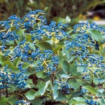 Blueberry Muffin Arrowwood Viburnum Shrub