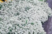 Iberis sempervirens - Evergreen Candytuft