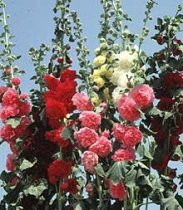 Alcea rosea 'Chater's Double Mix' - Hollyhock