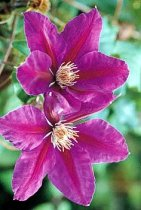 Clematis 'Anna Louise' - Clematis