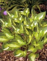 Hosta 'Center of Attention' - Hosta