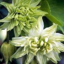 Aquilegia vulgaris var. stellata 'Green Apples'