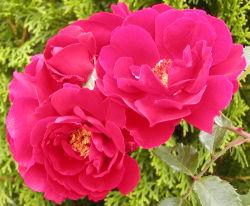 rosa sympathie rose. Black Bedroom Furniture Sets. Home Design Ideas