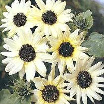 Helianthus annuus 'Italian White' - Sunflower