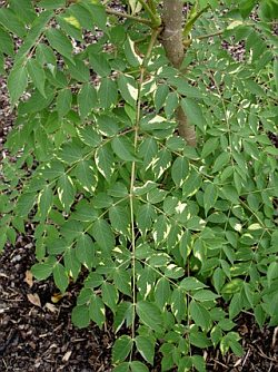 Aralia elata 'Golden Umbrella' - Japanese Angelica tree