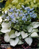 Brunnera macrophylla 'Looking Glass' - Variegated Siberian Bugloss
