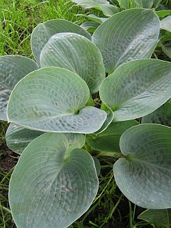 Hosta 'Big Daddy' - bohyška, funkia