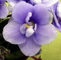 Saintpaulia 'Mickey Mouse' - African Violet