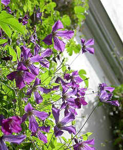 Clematis - Waldrebe; foto: Clematis viticella: 3137