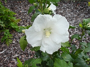 Hibiscus syriacus 'Diana' - Rose of Sharon