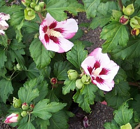 Hibiscus syriacus 'Hamabo' - Rose of Sharon