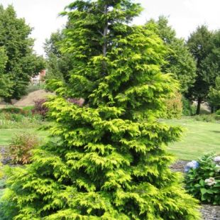 Chamaecyparis lawsoniana 'Golden Wonder' - cypřišek lawsonův