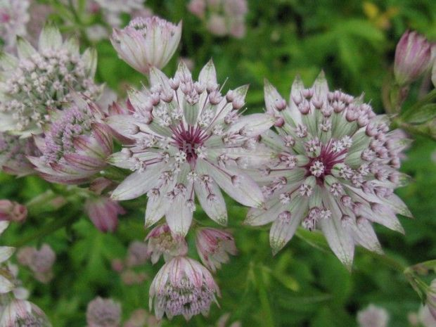 Astrantia major 'Sunningdale Variegated' - jarmanka