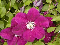 Clematis - Caring for Clematis