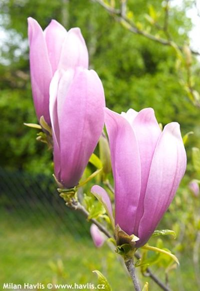 photogalerie magnolie 1 garten. Black Bedroom Furniture Sets. Home Design Ideas