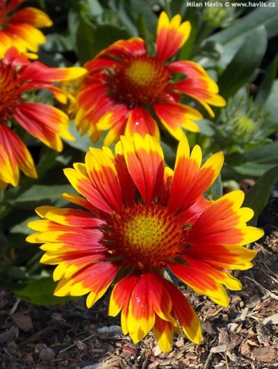 Gaillardia aristata 'Granretip', 'Sunburst™ Red With Yellow Tip' - kokarda