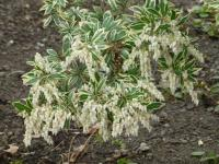 Pieris japonská 'Little Heath'