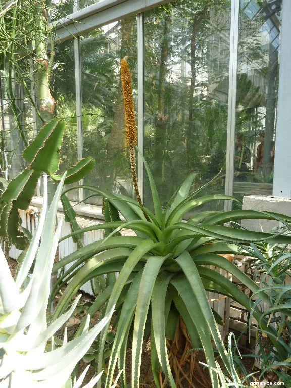 Aloe (Aloe spicata)