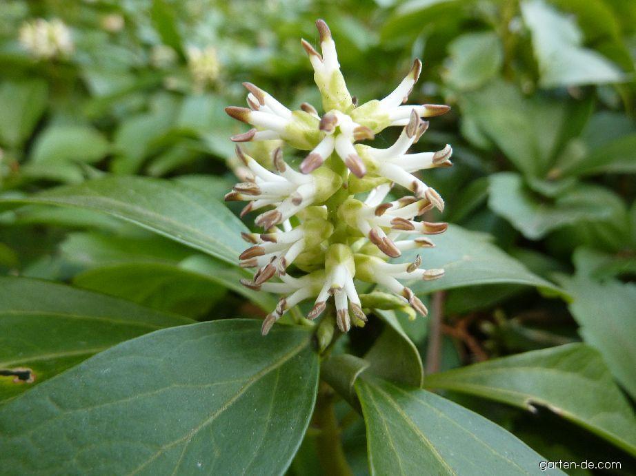 Pachysandra klasnatá - květ (Pachysandra terminalis)