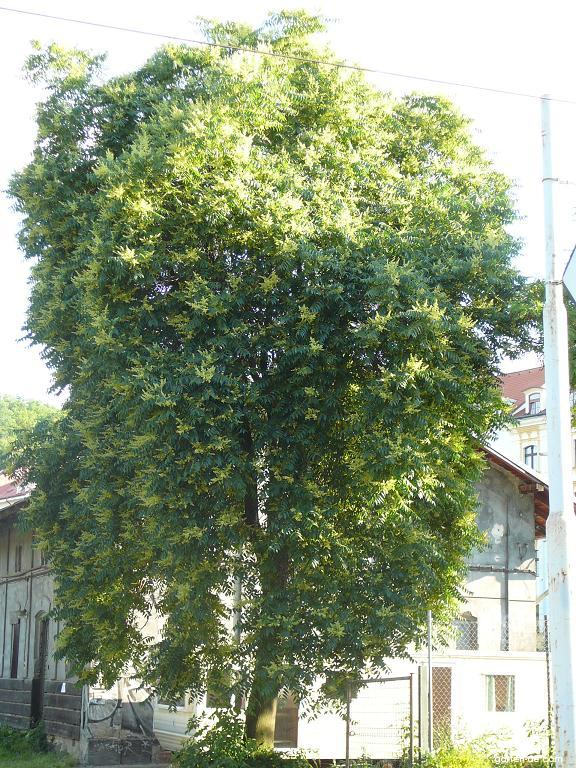Pajasan žláznatý (Ailanthus altissima)
