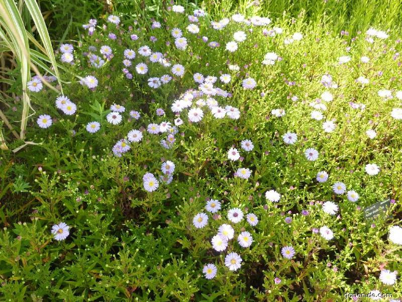 Kissenaster - Aster dumosus Lilac Time