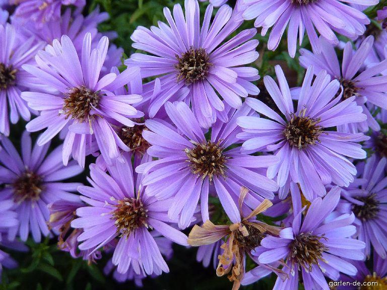 Hvězdnice křovitá Rosemarie Sallmann - květ (Aster dumosus)