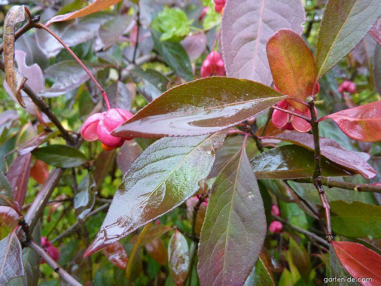 Brslen evropský - list, podzim (Euonymus europaeus)