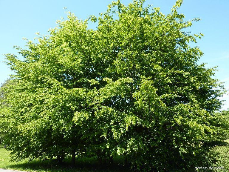 Gemeine Hainbuche - Carpinus betulus