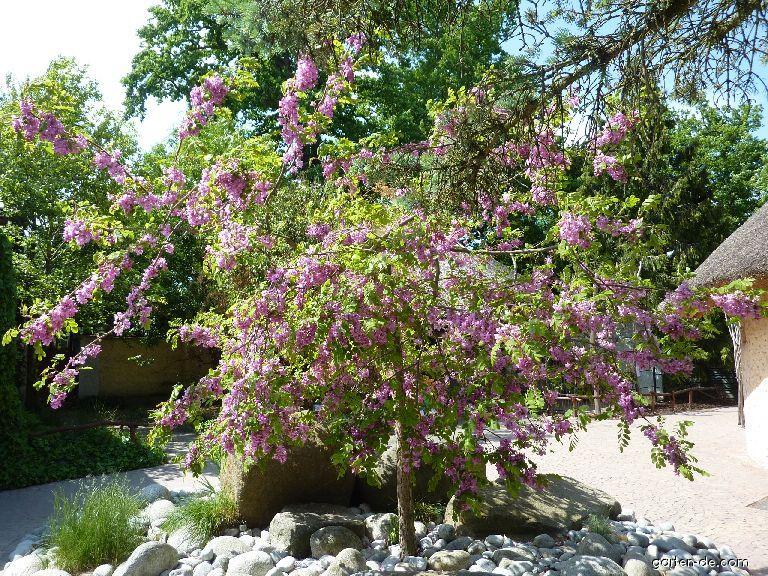 Trnovník huňatý (Robinia hispida)