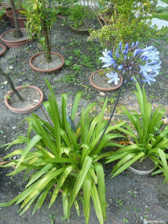 Kalokvět okoličnatý (Agapanthus umbellatus)