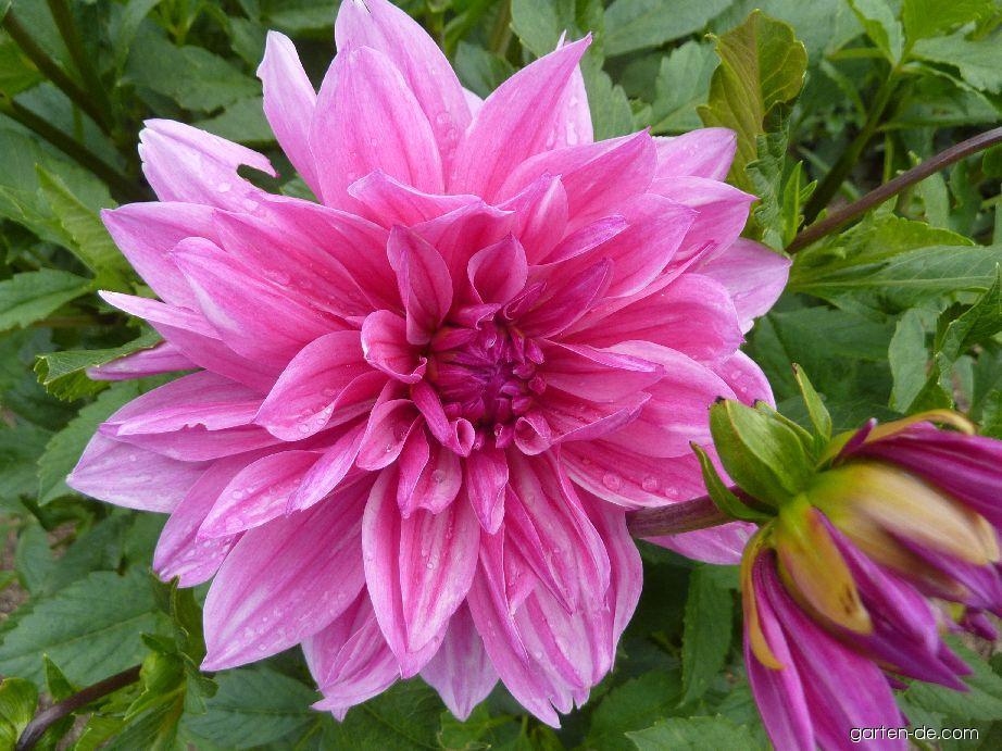Jiřina Jeseník - květ (Dahlia)