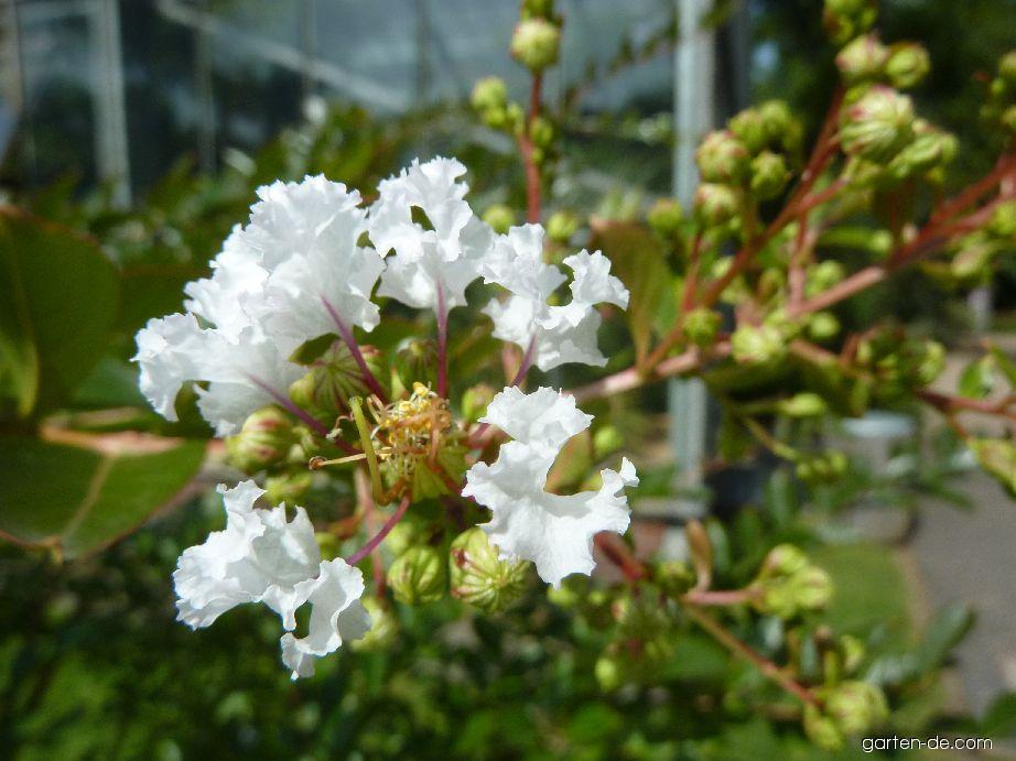 Lagerstroemie Acoma (Lagerstroemia hybridum)