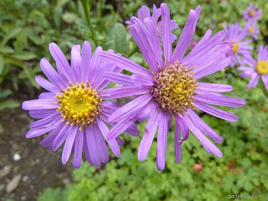 Hvězdnice chlumní Rotfeuer - květ (Aster amellus)
