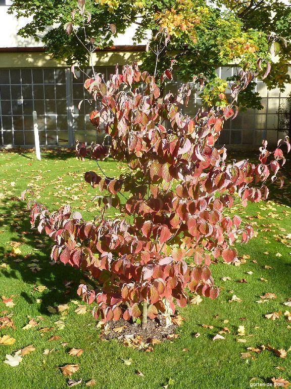 Photos Amerikanischer Blumenhartriegel Blätter Herbst Garten