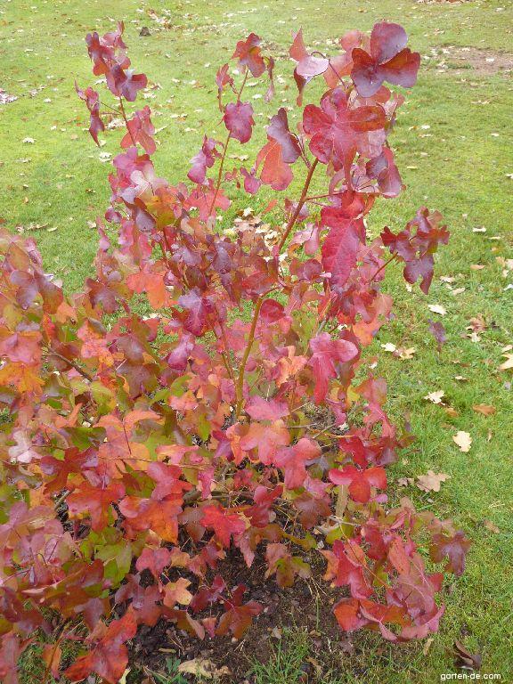 Amerikanischer Amberbaum - Liquidambar styraciflua Rotundiloba