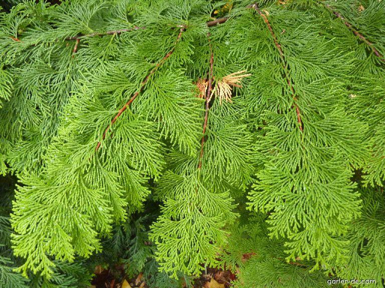 Scheinzypresse - Chamaecyparis obtusa Crippsii