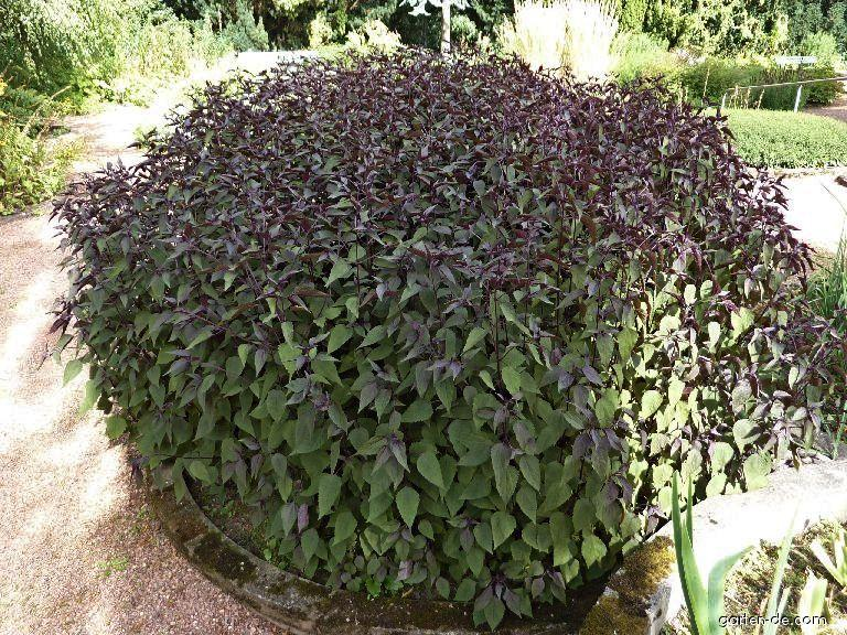 Ageratina Chocolate (Ageratina altissima)