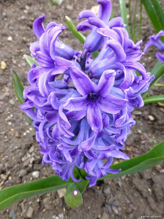 Gartenhyazinthe - Hyacinthus orientalis Blue Jacket