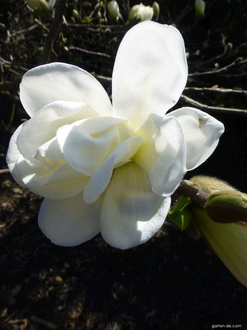 Šácholan Loebnerův Spring Snow - květ (Magnolia loebneri)
