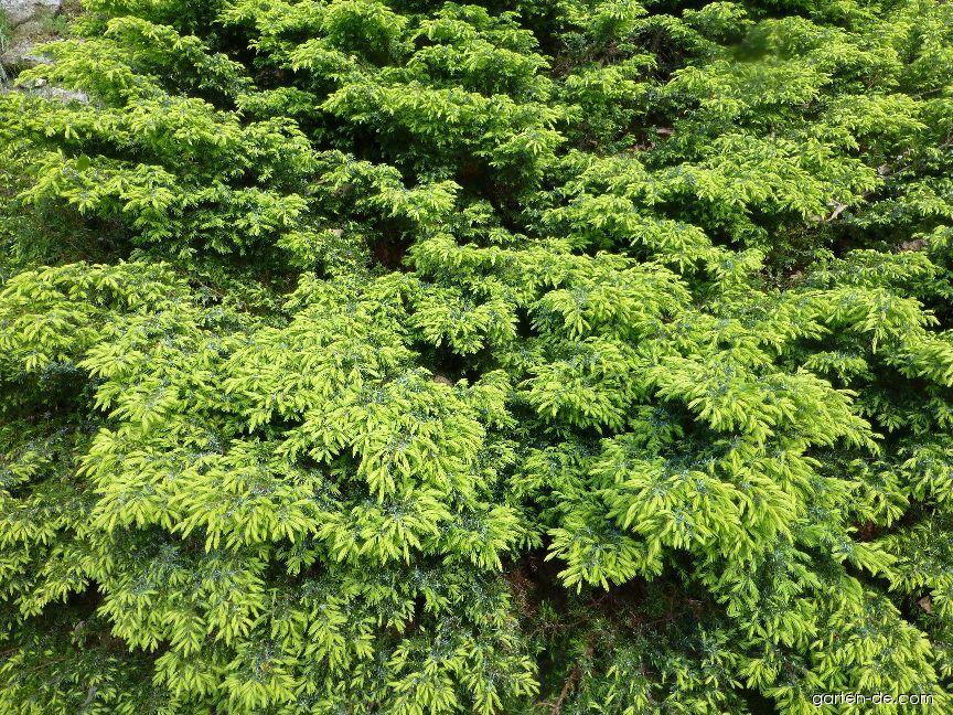 Gemeine Wacholder - Juniperus communis Depressa Aurea
