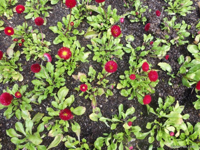 Gänseblümchen - Bellis perennis Rominette Red
