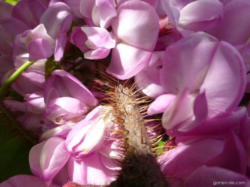 Trnovník huňatý - větévka s květy (Robinia hispida)