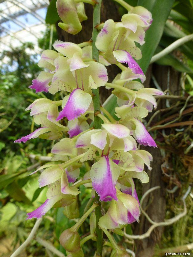 Aerides - květ (Aerides falcata)