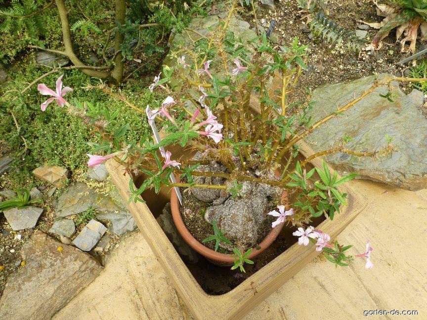 Pachypodium (Pachypodium succulentum)