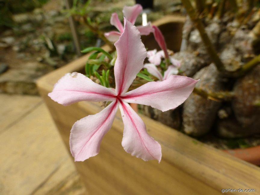 Pachypodium - květ (Pachypodium succulentum)