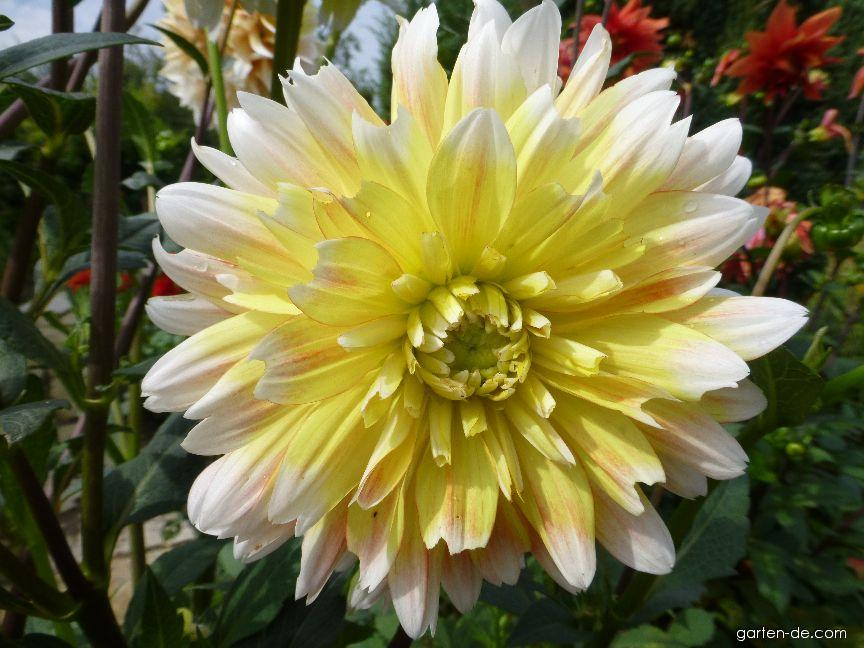 Jiřina Peaches and Cream - květ (Dahlia hybridus)