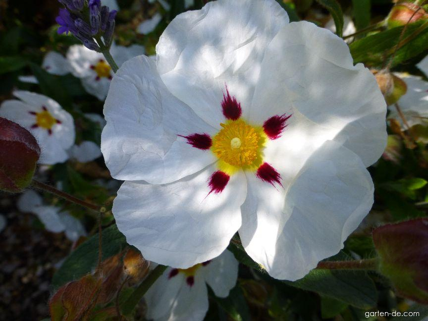 Cist Ann Baker - květ (Cistus hybridus)